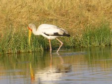 African Wood Stork - Savute Channel