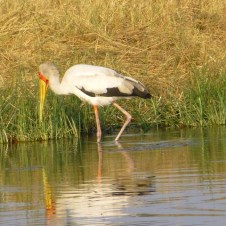 African Wood Stork - Savute Channel