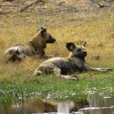 African Wild Dogs - Savute Channel