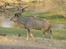 Kudu - Savute Channel