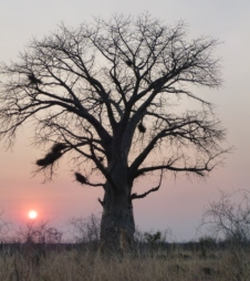 Sunset at the Boabab Tress - Zambia