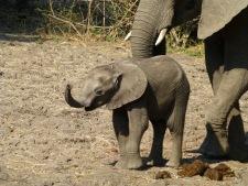 Baby Elephant - Zambia
