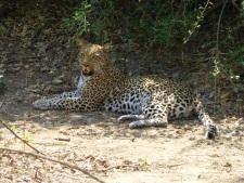 Leopard - Zambia