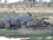 Spotted Hyena and elephant carcass - Okavango Delta, Botswana