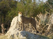 Cheetah Lookout