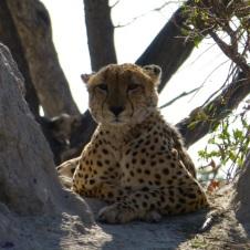 Cheetah resting - Okavango Delta - Botswana