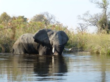 Elephant foraging for water lily roots - Okavango Delta - Botswana