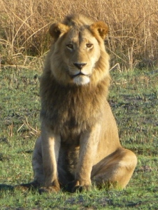 Young male lion - Okavango Delta - Botswana