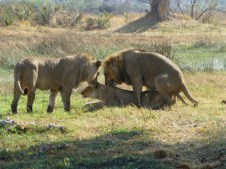 Lions mating - Okavango Delta - Botswana