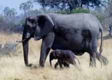 Elephant and new born calf - Zambia