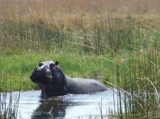 Hippo - Okavango Delta, Botswana