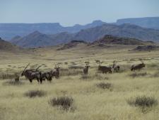 Oryx - Namibia