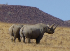 Black Rhino - Namibia