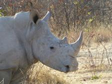 White Rhino - Namibia
