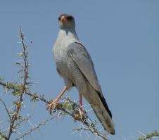 Pale Chanting Gosshawk - Namibia
