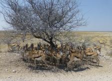Gazelle - Etosha Namibia