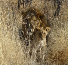 Lion and cub - Namibia