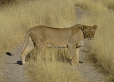 Lioness - Namibia