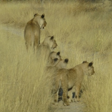 Lioness and cubs - Namibia