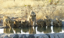 Cubs at the Waterhole - Namibia