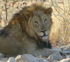 Lion - Namibia