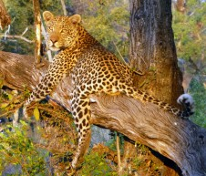 Leopard - Botswana